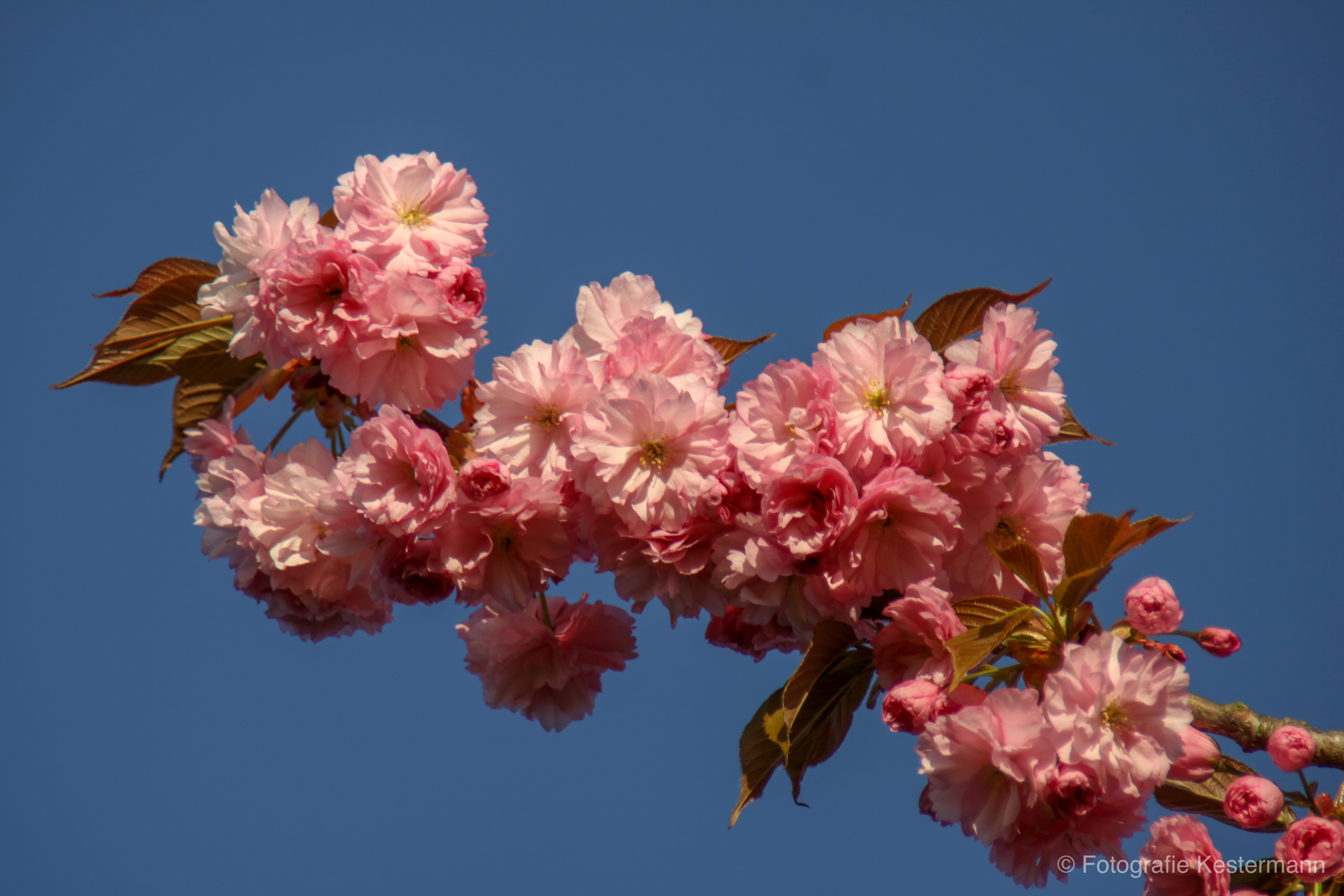 kirschbluete bonn fruehling rosa blau